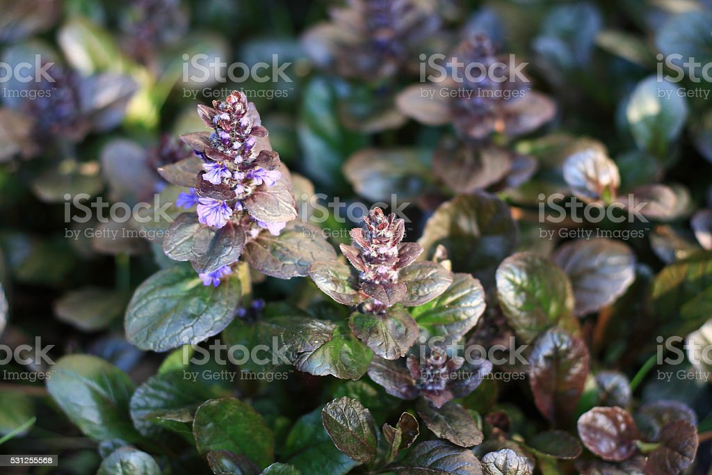 Ajuga reptans or bugle, blue bugle, bugleherb stock photo