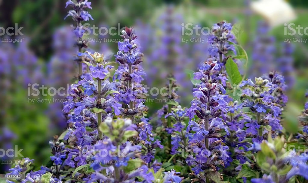 Ajuga reptans stock photo