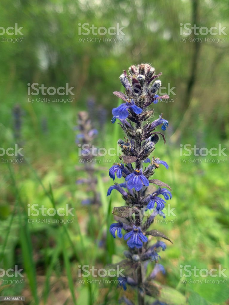 Ajuga reptans plant growing in the forest. stock photo