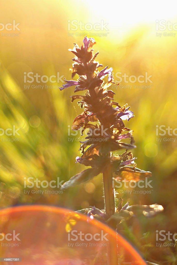 Ajuga reptans violet flower in a magic morning light stock photo