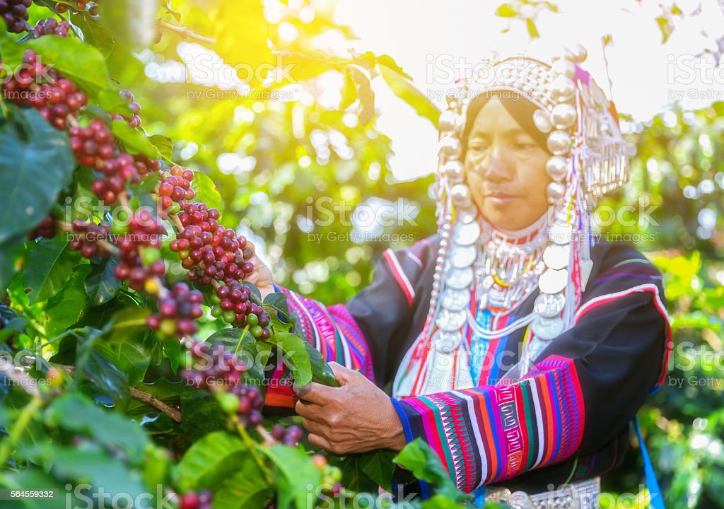 Akha hill picking arabica coffee berries in red and green stock photo