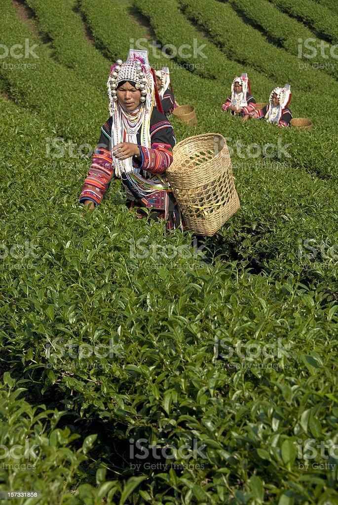 Akha Tea Pickers royalty-free stock photo