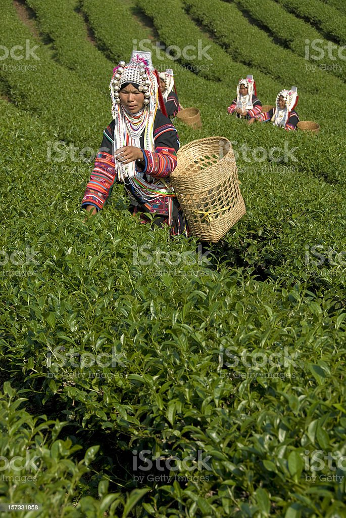 Akha Tea Pickers stock photo