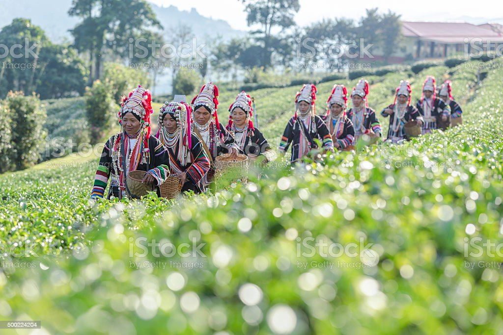 Akha Women from Thailand walking in tea plantation stock photo