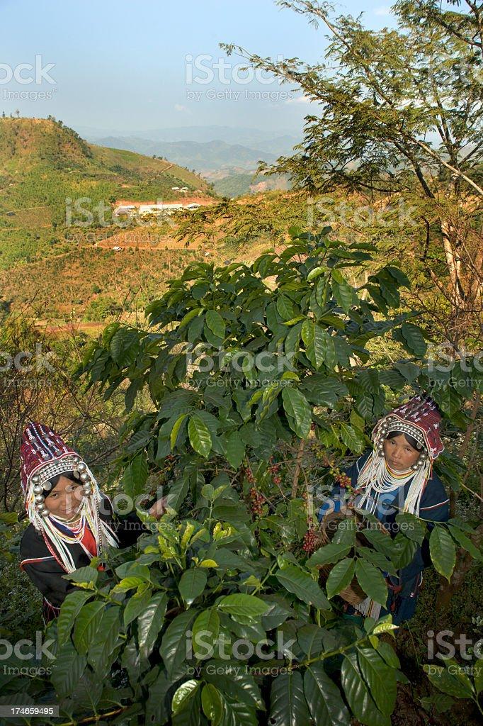 Akha Women Harvesting Coffee royalty-free stock photo