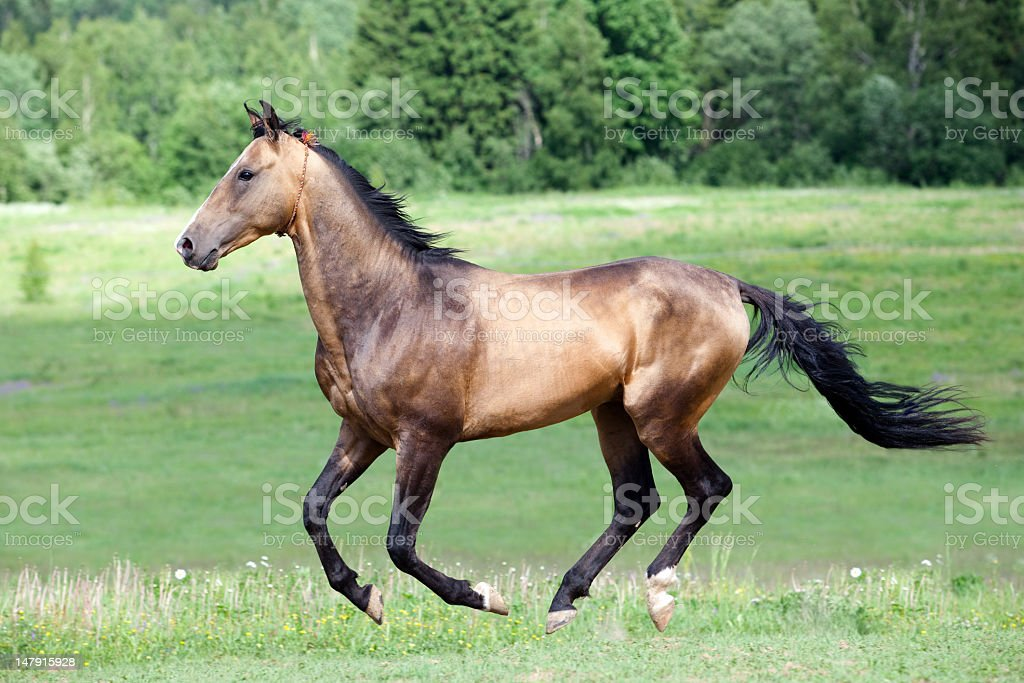 Akhal-Teke horse in field royalty-free stock photo