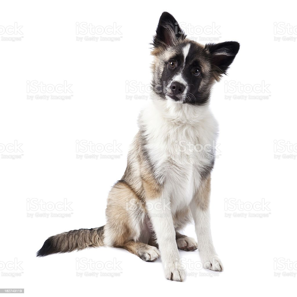 Akita German Shepard Collie royalty-free stock photo