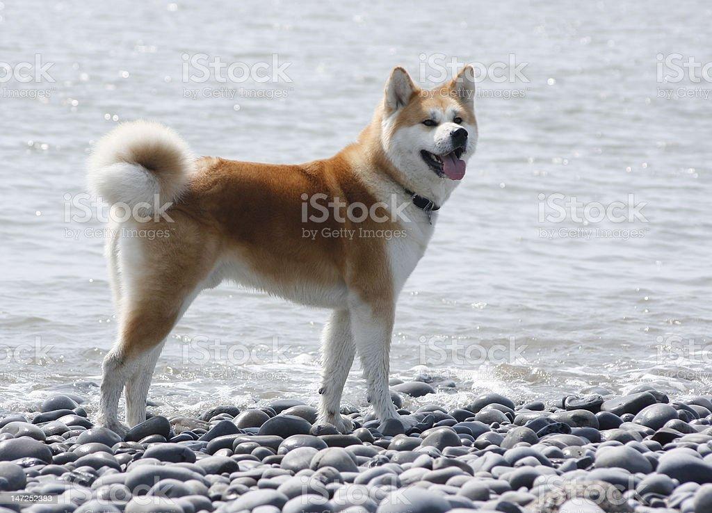 Akita Inu at the beach stock photo