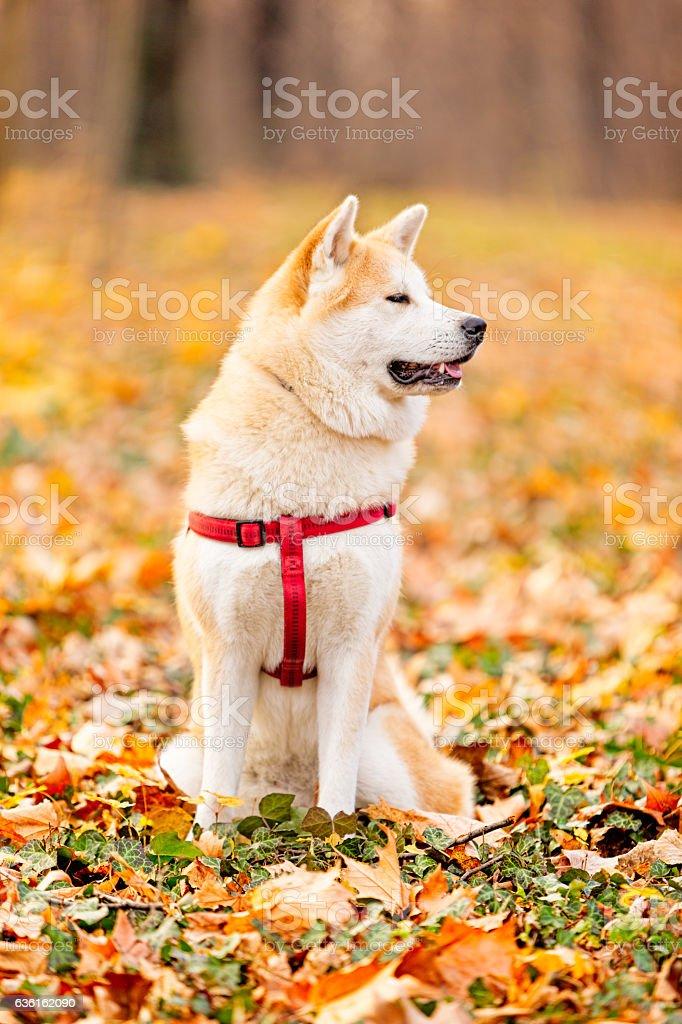 Akita inu dog in the park stock photo