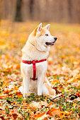 Akita inu dog in the park