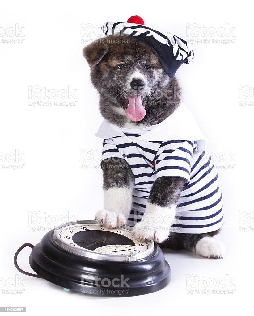 Akita puppy stock photo