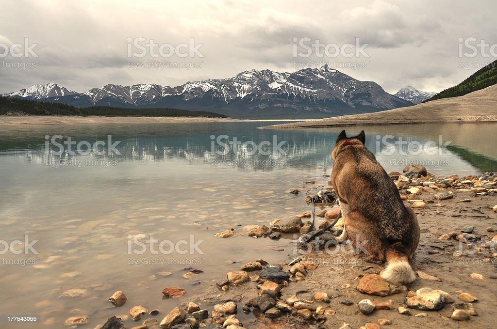 Akita sitting near abraham lake with rockies in background stock photo