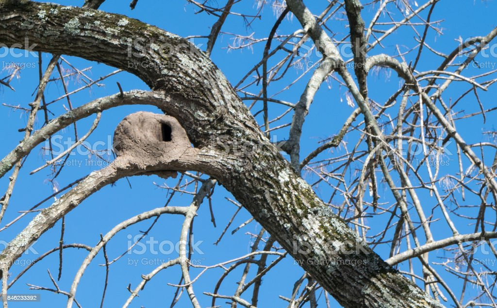 Alamo Tree with Rufous Hornero nest stock photo