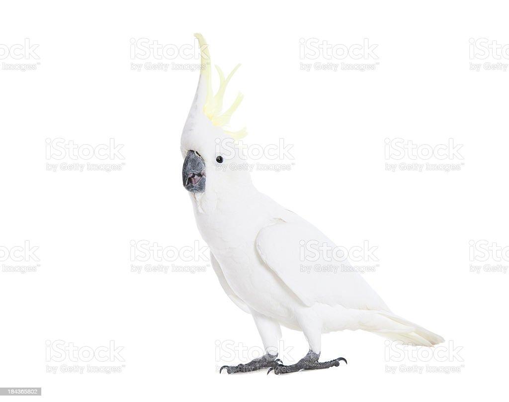 Alarmed Cockatoo stock photo