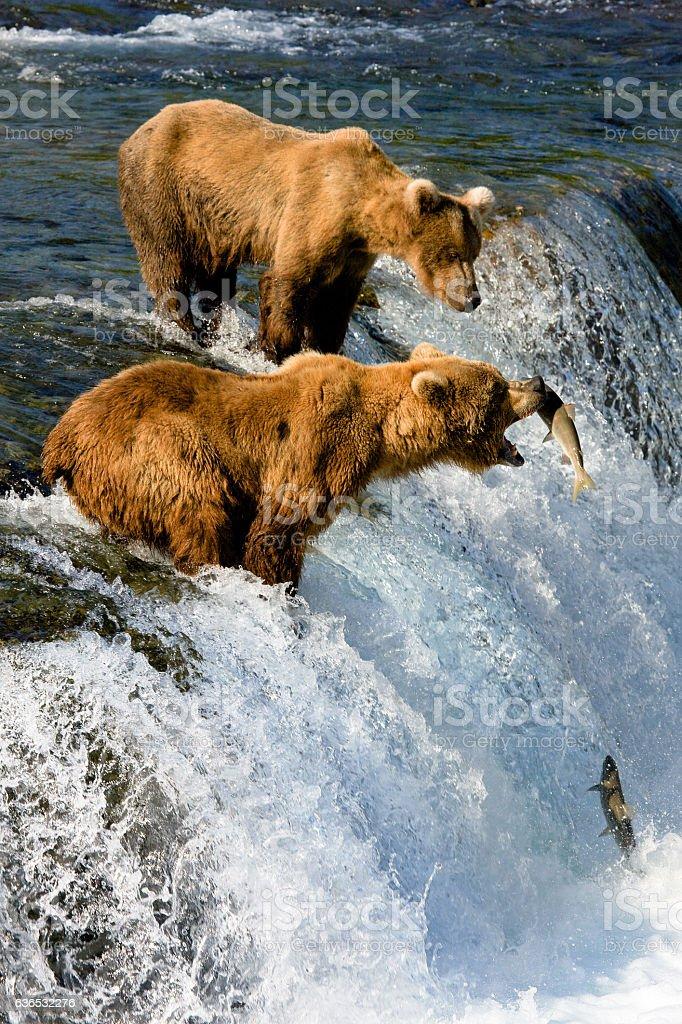 Alaska. Bear catches fish stock photo