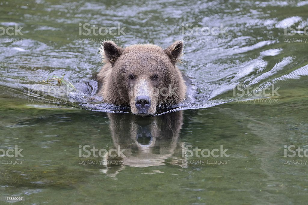 Alaska Brown Bear Catching Salmon royalty-free stock photo