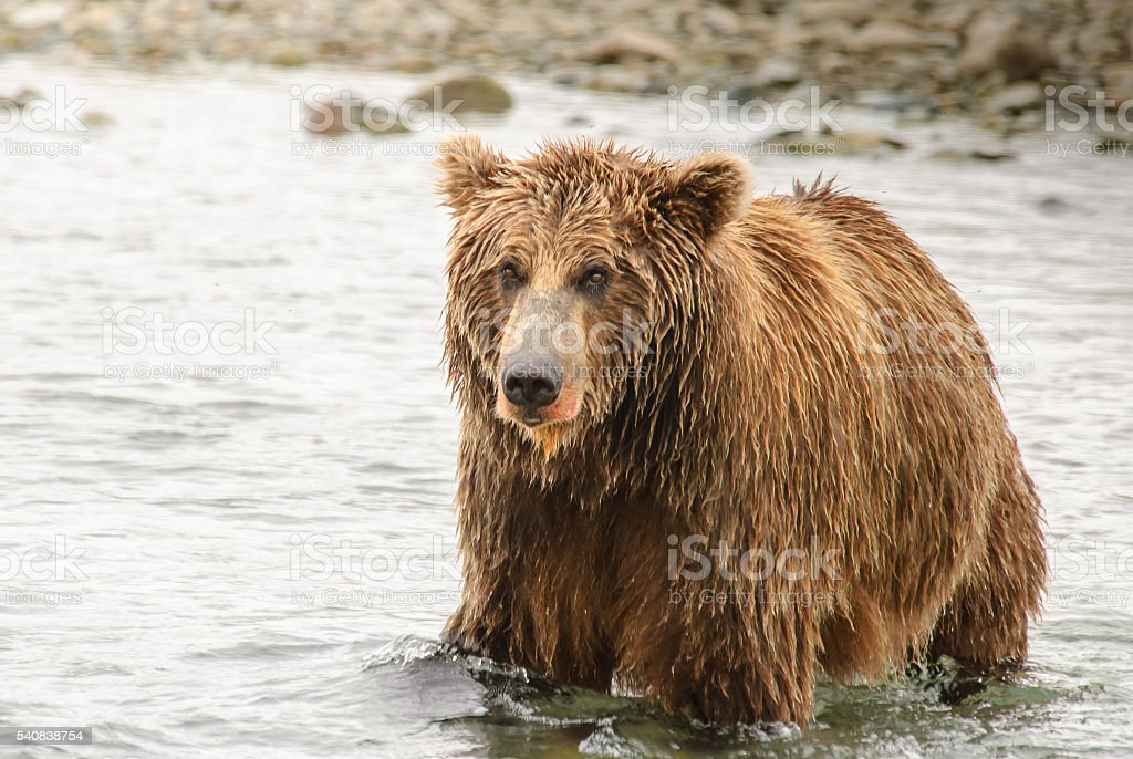 Alaska Brown Bear Close Up in River with Salmon Blood stock photo