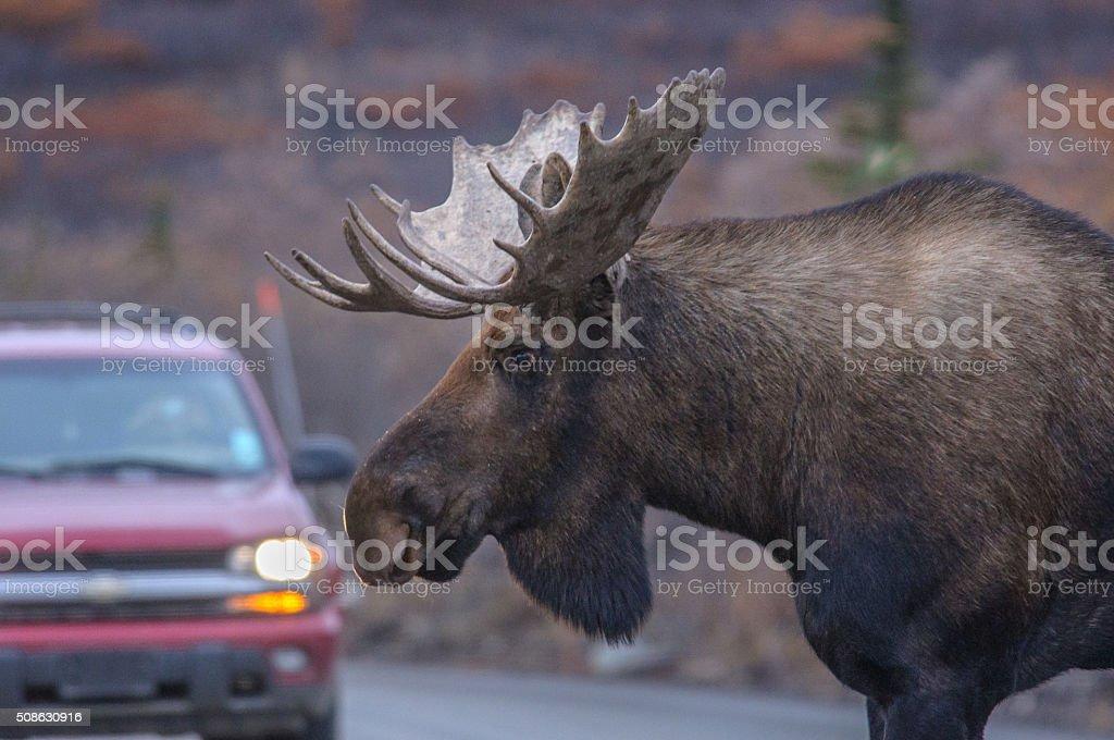 Alaska Bull Moose Close Up Near Car in Denali stock photo