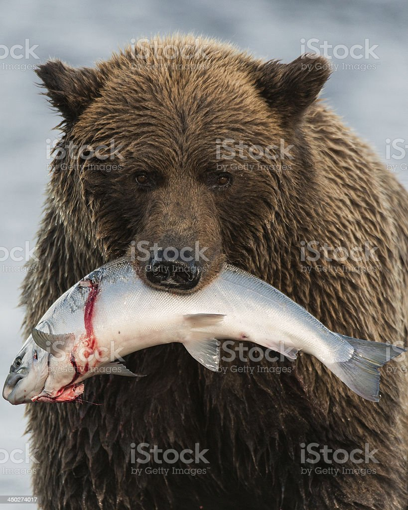 Alaska Coastal Brown Bear with Salmon stock photo