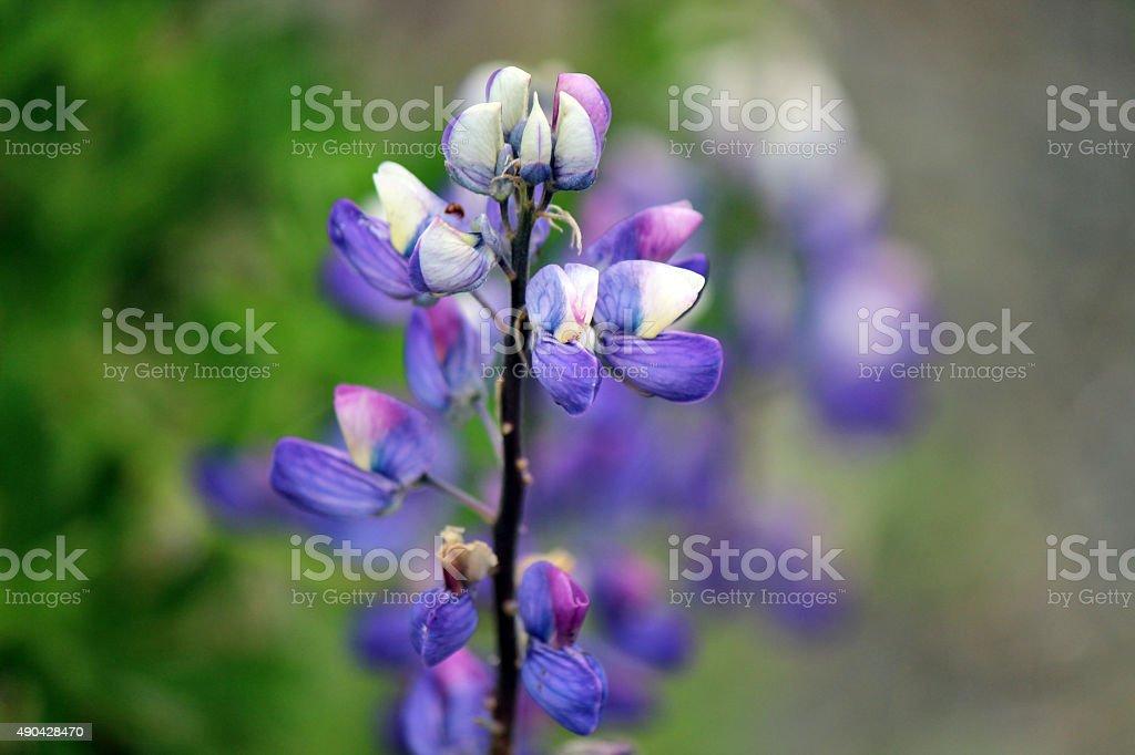 Alaska fiore foto stock royalty-free