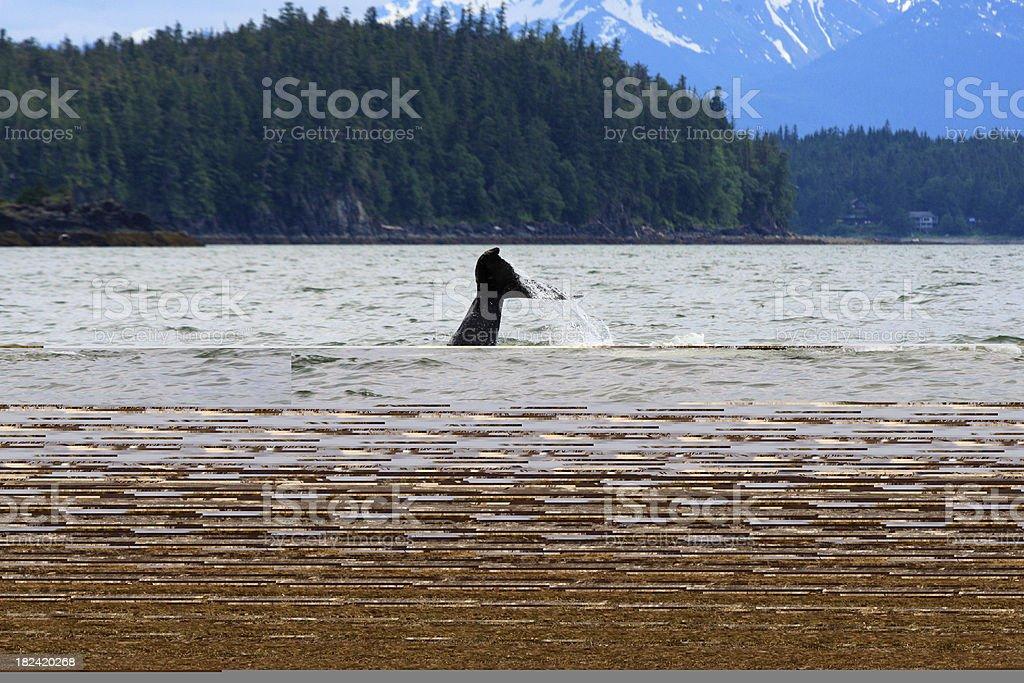 Alaska Megattera Fluke Networks foto stock royalty-free