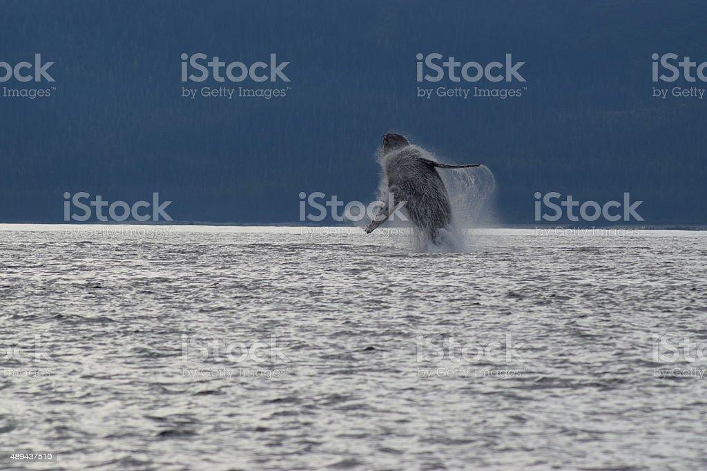 Alaska Humpback Whale Pirouette stock photo