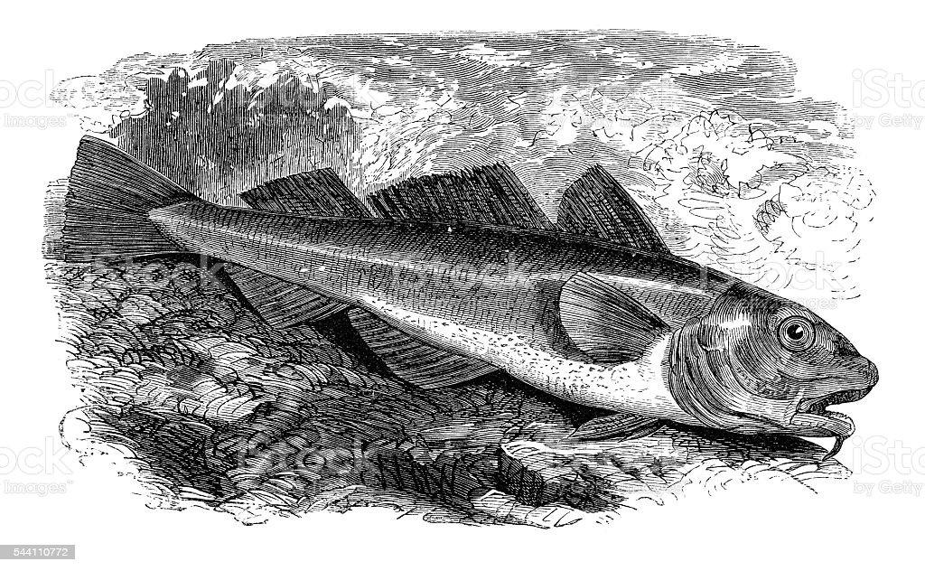 Alaska pollock fish engraving 1881 stock photo