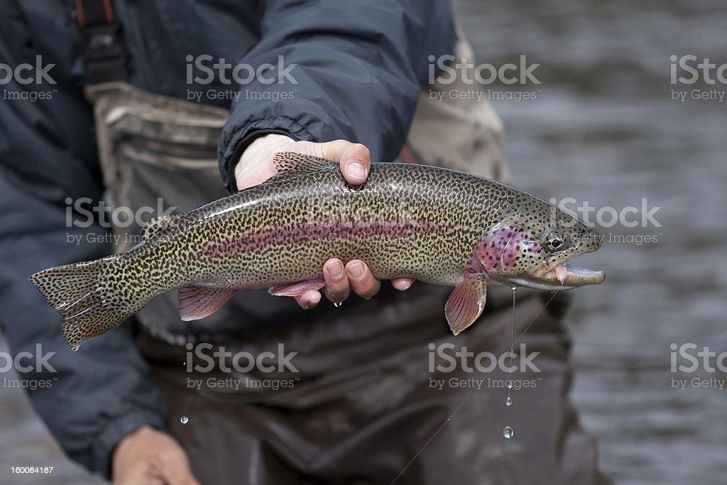 Alaska Rainbow Trout stock photo