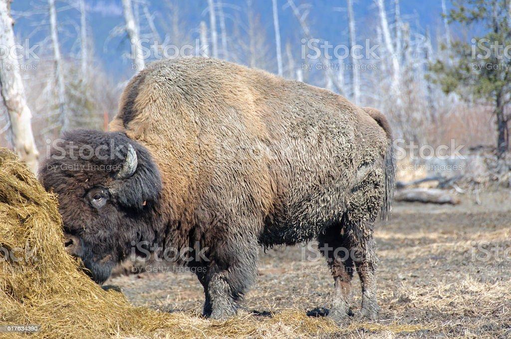 Alaska Wood Bison Eating Hay stock photo