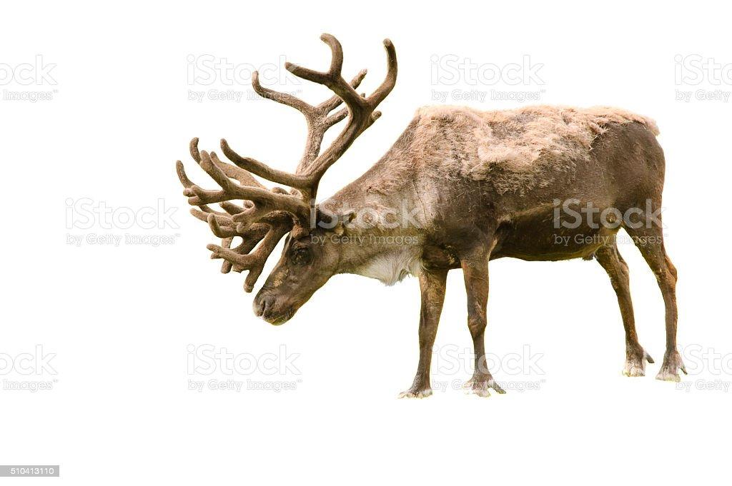 Alaskan animals stock photo