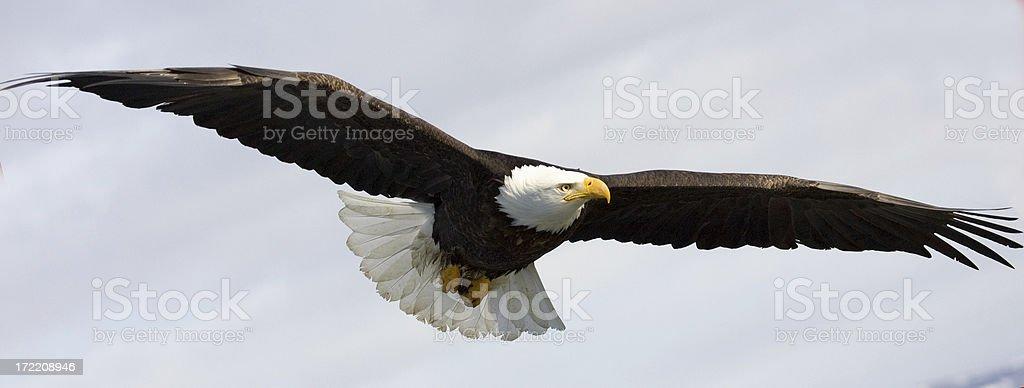 Alaskan Bald Eagle soaring through the skies stock photo