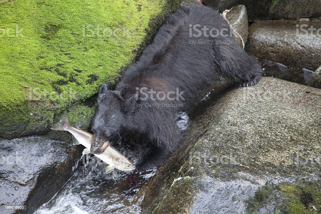 Alaskan Bear Catching Salmon stock photo