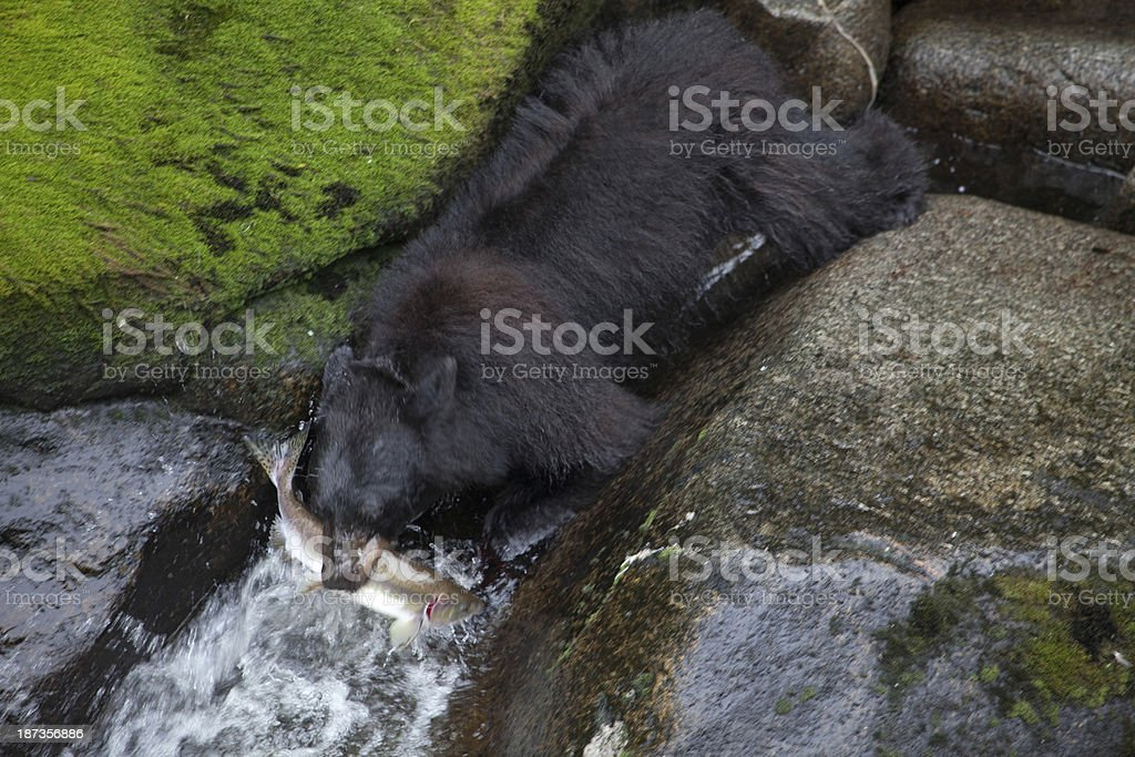 Alaskan Bear with Salmon stock photo