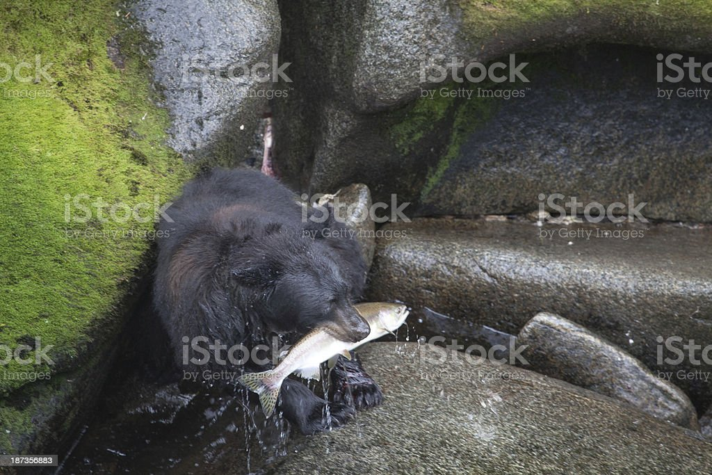 Alaskan Black Bear Salmon stock photo
