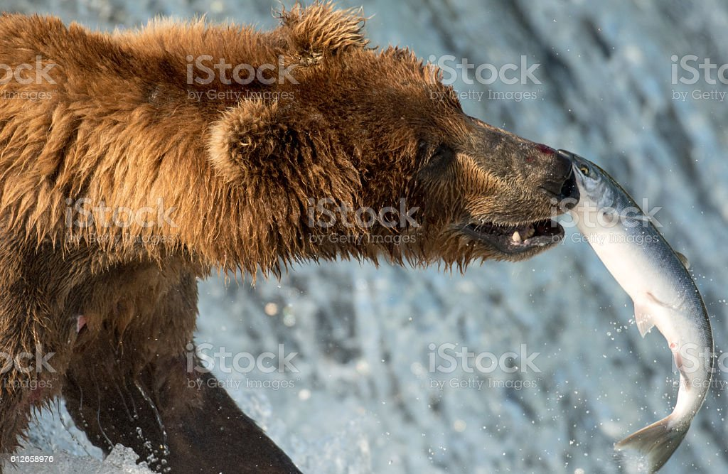 Alaskan brown bear attempting to catch salmon stock photo