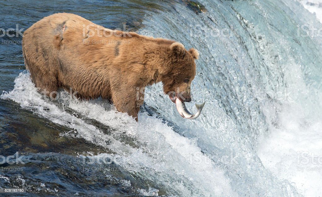 Alaskan brown bear attempting to catch salmon stock photo