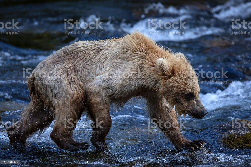 Alaskan Brown Bear Cub royalty-free stock photo