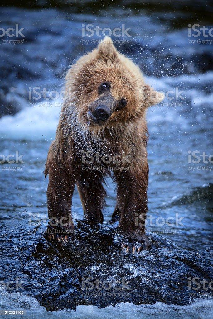 Alaskan Brown Bear Cub Shaking Off Water royalty-free stock photo