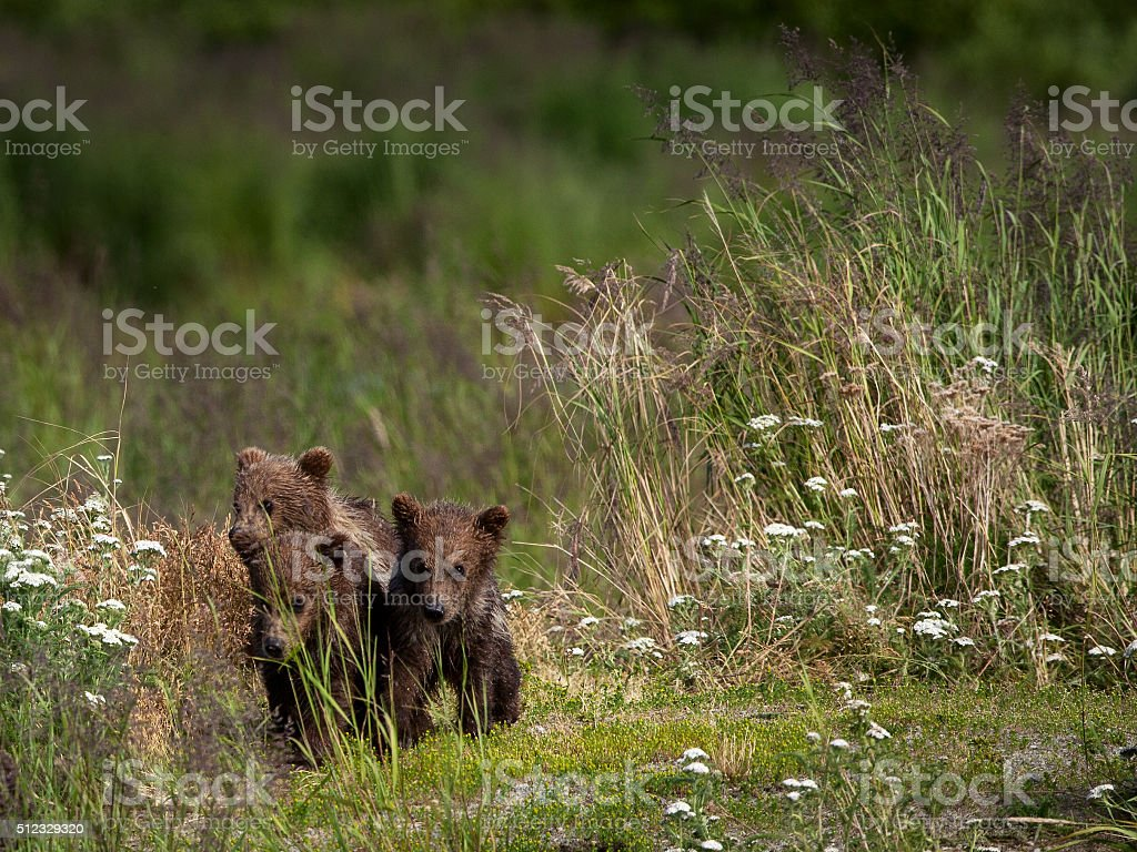 Alaskan Brown Bear Cubs royalty-free stock photo