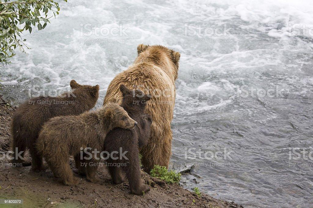 Alaskan Brown Bear Family royalty-free stock photo
