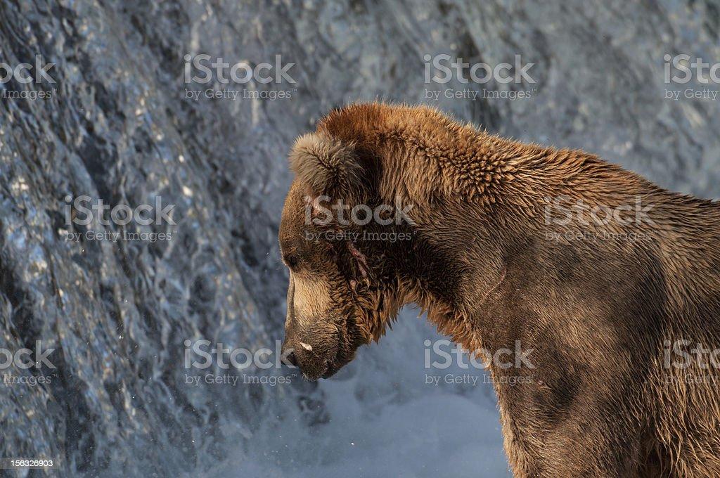 Alaskan brown bear fishing for salmon royalty-free stock photo