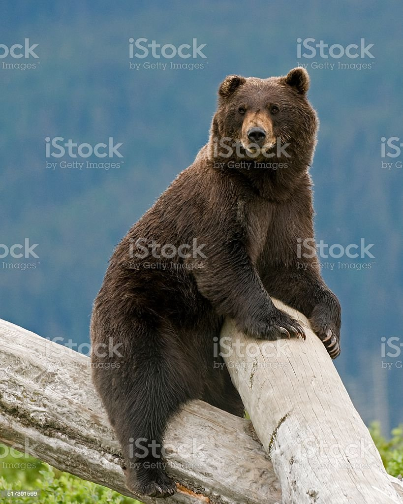 Alaskan Brown Bear On A Log stock photo