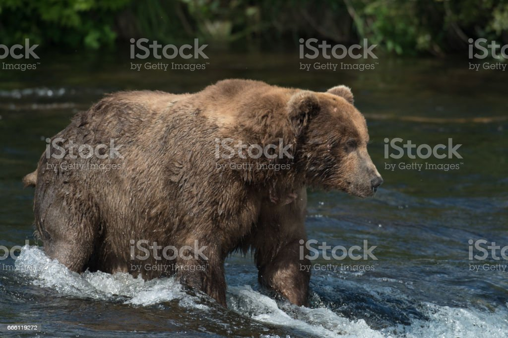 Alaskan brown bear on falls stock photo