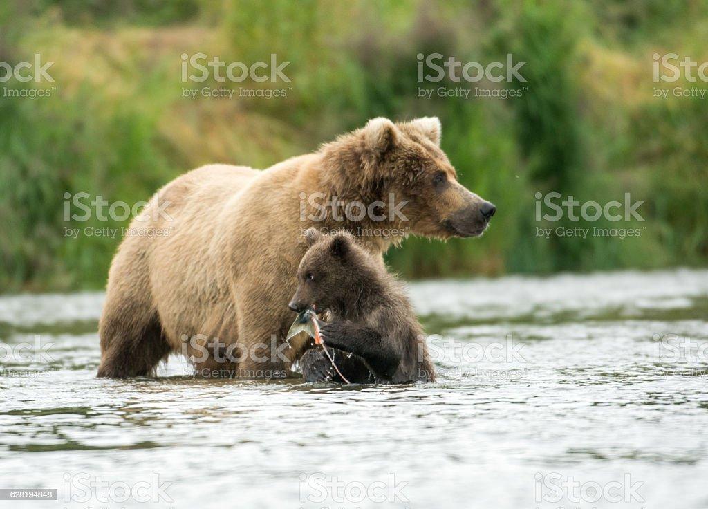 Alaskan brown bear sow and cub stock photo