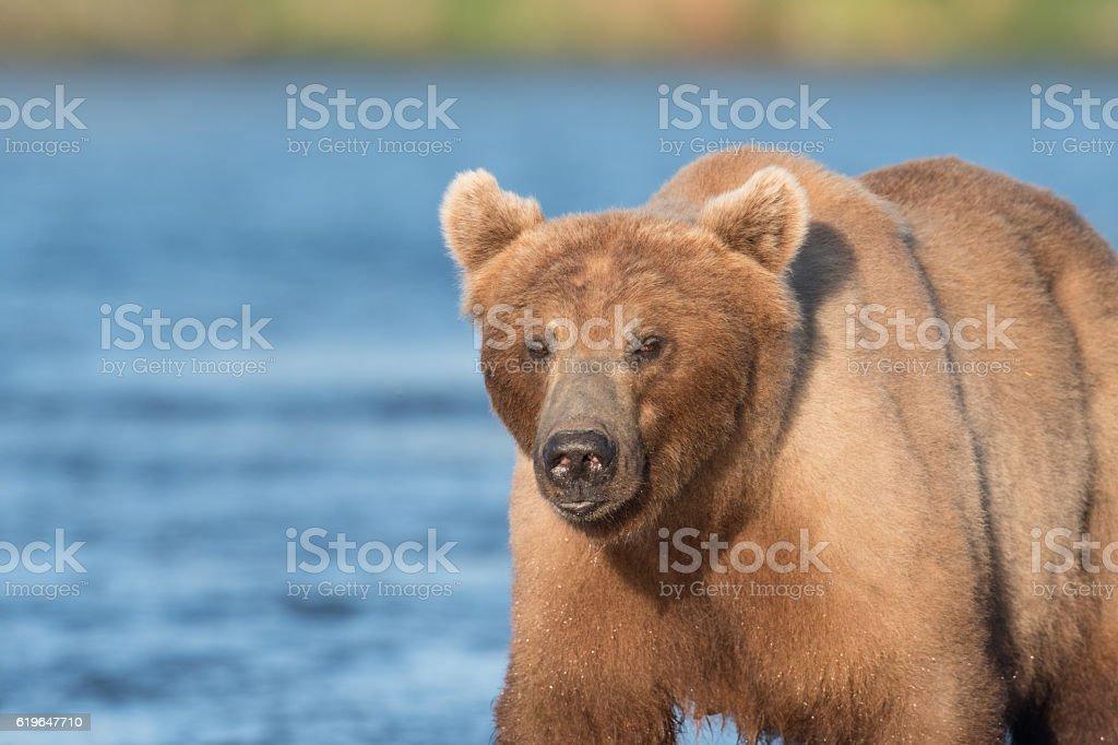 Alaskan brown bear sow stock photo