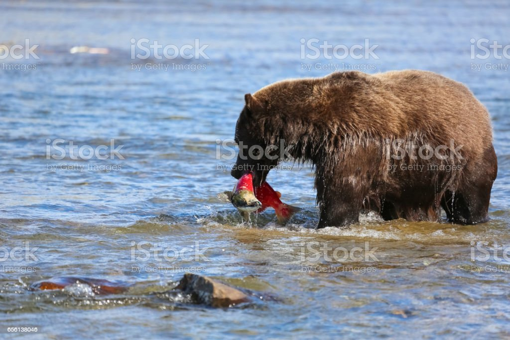 Alaskan brown bear (grizzly bear) walking through the riverbed stock photo
