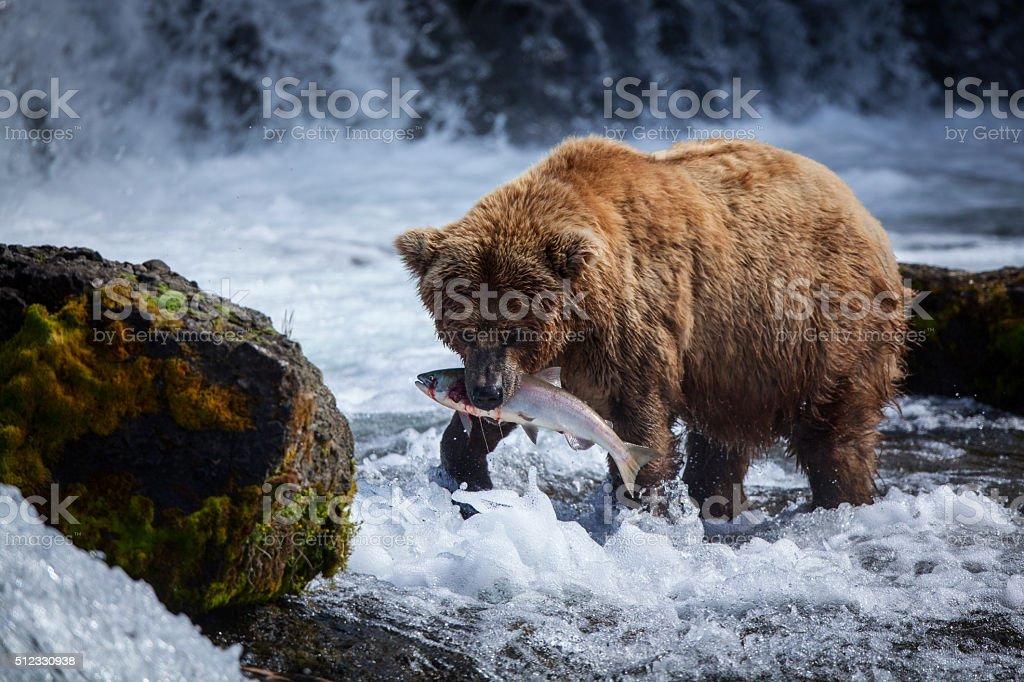 Alaskan Brown Bear with a Salmon stock photo