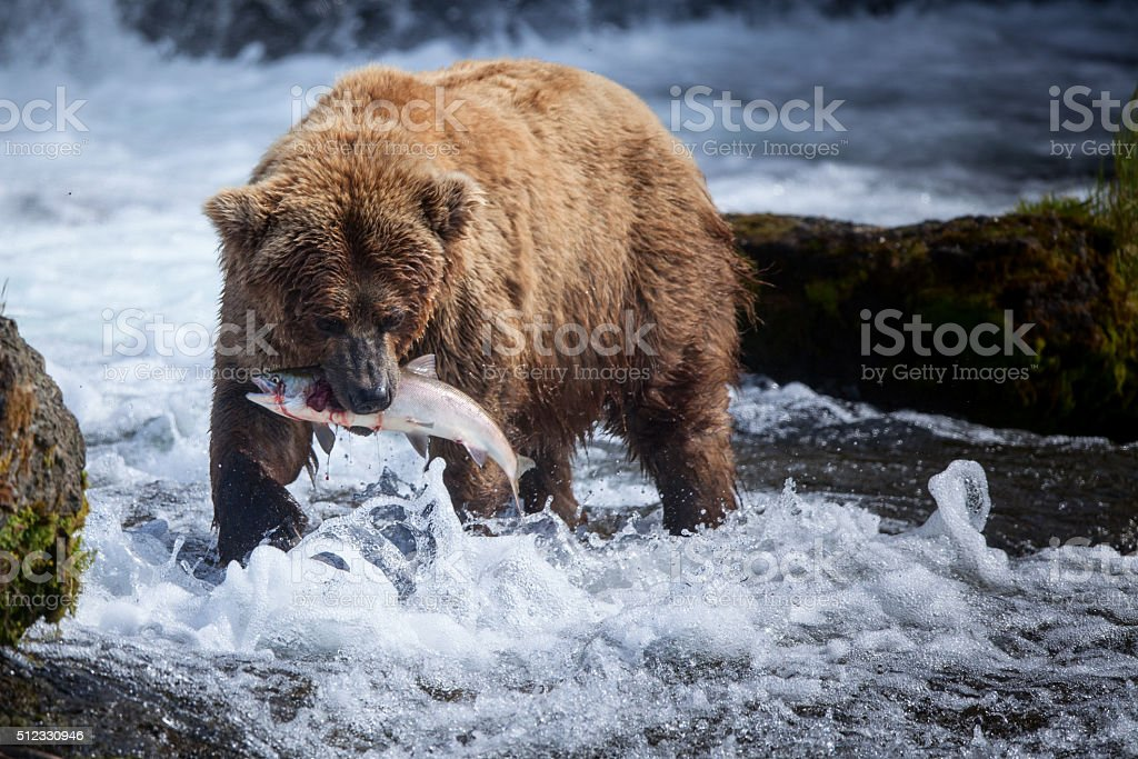 Alaskan Brown Bear with a Salmon stock photo