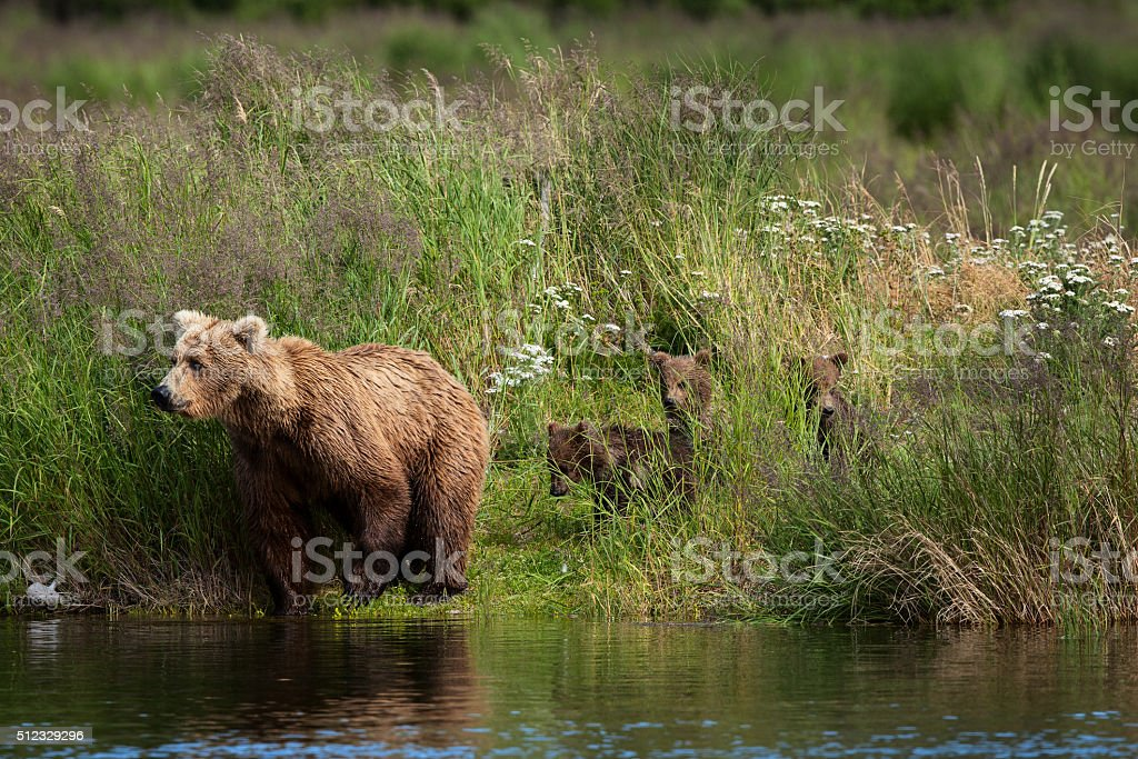Alaskan Brown Bear with Cubs royalty-free stock photo