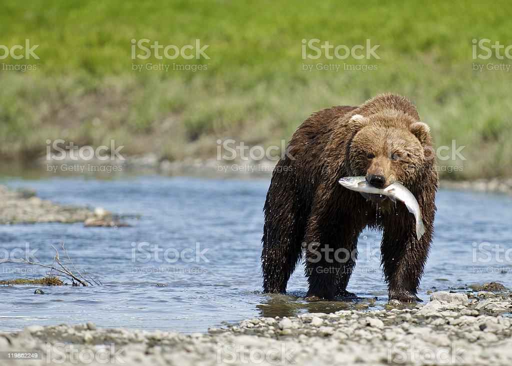 Alaskan Brown Bear with Sockeye Salmon stock photo